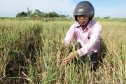 Quảng Bình - Quay quắt dưới nắng 'ba trưa': Lúa chịu khô quéo trên đồng