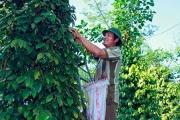 Lâm Đồng: Người dân đạt thu nhập cao nhờ trồng tiêu hữu cơ bền vững