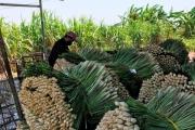 Tiền Giang: Trồng sả hiệu quả trên vùng đất nhiễm mặn