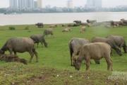 Hà Nội: Người dân lo mất nghề mưu sinh vì cấm chăn nuôi trong đô thị