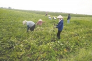 Vĩnh Phúc: Giải pháp để nông dân không bỏ hoang đồng ruộng