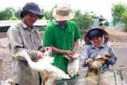 Đồng Tháp: Nuôi vịt 'nằm rọ' cho trứng sạch xuất khẩu