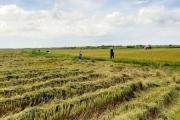 Vụ hè - thu tại tỉnh Thừa Thiên - Huế: Giá cao bù hao sản lượng