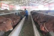 Hưng Yên: Nuôi bò thịt ít rủi ro, đỡ lo bệnh