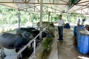 Nuôi trâu thương phẩm - hướng đi kinh tế của người Tuyên Quang