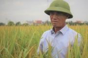 Giống lúa Nếp Hương trĩu hạt trên cánh đồng Hải Dương