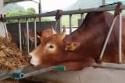 Từ chuỗi giá trị đến xây dựng thương hiệu thịt bò Mông Việt Nam