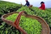 Chè Việt Nam ngày càng được ưa chuộng tại Anh