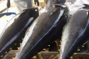 Xuất khẩu cá ngừ sang thị trường Nhật Bản tăng trở lại