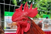 11 đội tranh tài tại Hội thi gà Mía Sơn Tây lần thứ 1 năm 2020