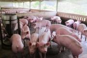 Hưng Yên khuyến cáo người dân không nên ồ ạt nuôi lợn