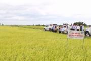 Doanh nghiệp bao tiêu đầu ra 2.000ha lúa chất lượng cao