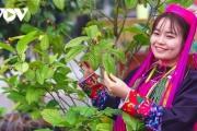 Trà hoa vàng - sản phẩm nông nghiệp chất lượng cao của đồng bào Ba Chẽ