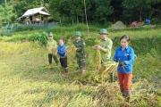 Quế Phong: Chính quyền, các tổ chức đoàn thể, lực lượng vũ trang chung tay với nhân dân gặt lúa chạy bão lụt