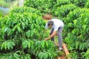 VnSAT hoàn thiện chuỗi giá trị cho cà phê Việt