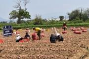 Khoai tây trồng quanh năm - nhu cầu cần thiết