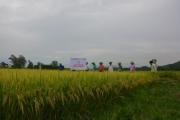 Quảng Ngãi: Sơn Tịnh đưa nhiều giống lúa mới vào sản xuất