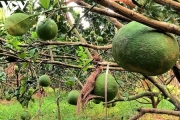 ĐBSCL: Tập trung phát triển mô hình trồng bưởi da xanh chuyên canh