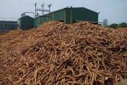 Xuất khẩu sắn tăng rất mạnh trong năm nay