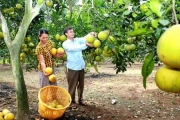 Vĩnh Phúc: Phát triển trồng bưởi gắn với xây dựng thương hiệu sản phẩm