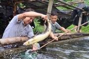 Cá tầm Trung Quốc giá rẻ, người nuôi trong nước điêu đứng