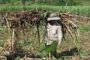 Tìm giải pháp cho ngành mía đường Việt Nam