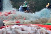 Hà Tĩnh: Ngư dân thu tiền triệu mỗi chuyến ra khơi nhờ được mùa cá cháo