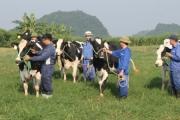 Đại gia súc: Chiến lược mới trong chăn nuôi