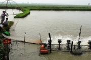 Bắc Ninh: Toàn tỉnh có 75ha diện tích nuôi cá theo tiêu chuẩn VietGAP