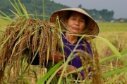 Nếp Hạt Cau Tiên Sơn – Sản vật của người nông dân Hà Lĩnh (Hà Trung)