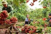 Bắc Giang: Dồn lực bảo vệ vùng vải thiều