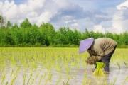 Biến đổi khí hậu gây nhiều áp lực cho nghề trồng lúa nước