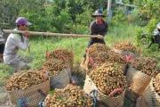 Tổ công tác 970 Bộ NN&PTNT: Nhãn Châu Thành - Đồng Tháp, cá tra tại Đồng bằng sông Cửu Long đang tiêu thụ rất khó khăn
