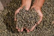 Giá cà phê hôm nay 24/8: Tăng 400 - 500 đồng/kg
