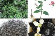 Phát triển thạch đen từ 4 đề xuất của Bộ Nông nghiệp và Phát triển nông thôn