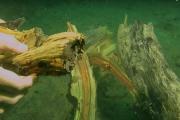 Rừng bách 50.000 năm tuổi nguyên vẹn dưới đáy biển
