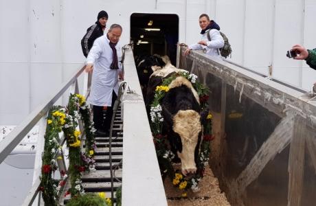 Tập đoàn TH đón đàn bò sữa cao sản HF đầu tiên nhập khẩu từ Mỹ về trang trại tại Moscow- Liên bang Nga