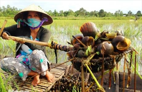 Bắt ốc bươu vàng kiếm bộn tiền trong mùa lũ ở miền Tây