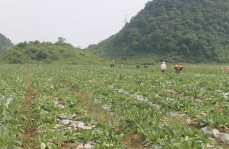 Hà Giang phát triển vùng trồng cây dược liệu