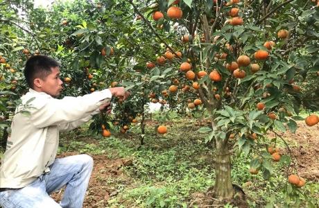 9X thu trăm triệu dịp Tết nhờ trồng bưởi Diễn ghép, cam Canh