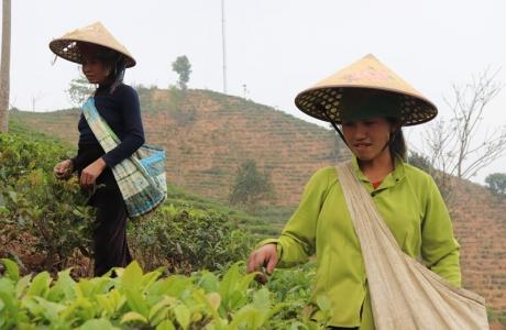 Cây xóa nghèo ở đất Phổng Lập