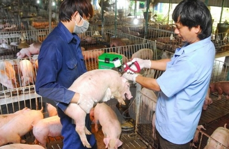 Ngăn dịch tả lợn châu Phi