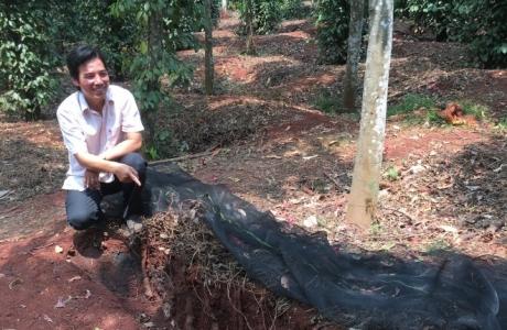 Canh tác lạ: Cho cây dại ở với tiêu, đào cả tấn củ, bán đắt tiền