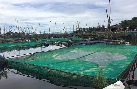 Thừa Thiên - Huế: Gần 40 tấn cá nuôi lồng chết trắng trên sông Đại Giang