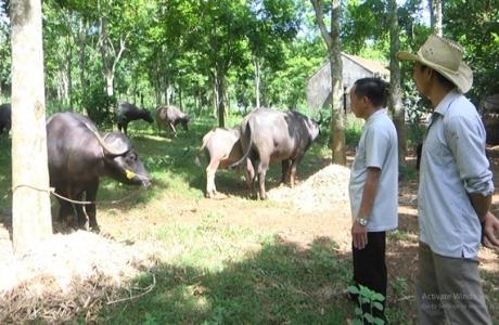 Trâu Myanmar, bò Thái Lan phổng phao trên xứ Nghệ