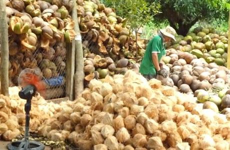 Thị trường Trung Quốc 'hút' dừa Bình Định