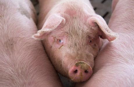 Trung Quốc loay hoay ứng phó khủng hoảng thịt lợn