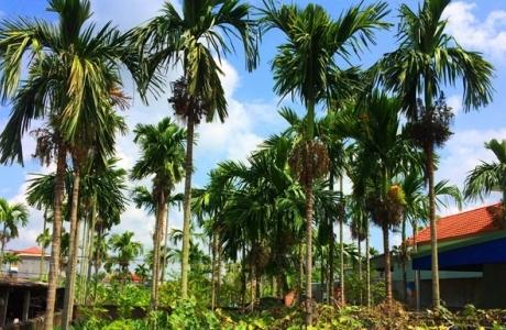 Độc nhất đất Việt: Làng trồng loại quả này bán sang TQ thu nghìn tỷ