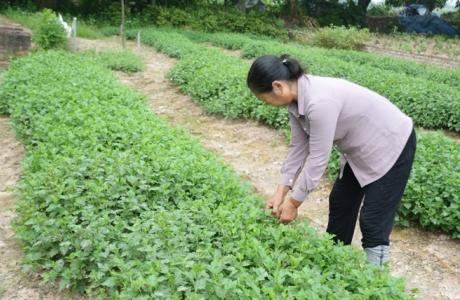Làng trồng dược liệu hàng trăm năm ở Hưng Yên