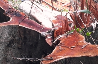 Quảng Nam: Rừng tự nhiên huyện Bắc Trà My bị lâm tặc tàn phá